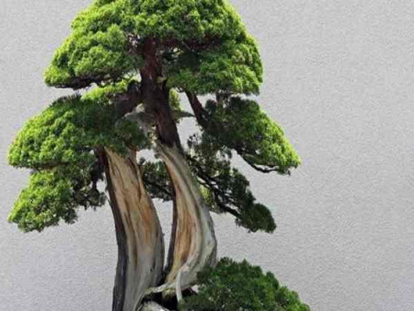 Khám phá ý nghĩa của cây Tùng trong phong thủy