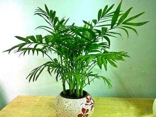 Tìm hiểu mệnh hợp và ý nghĩa phong thủy của cây cau tiểu trâm