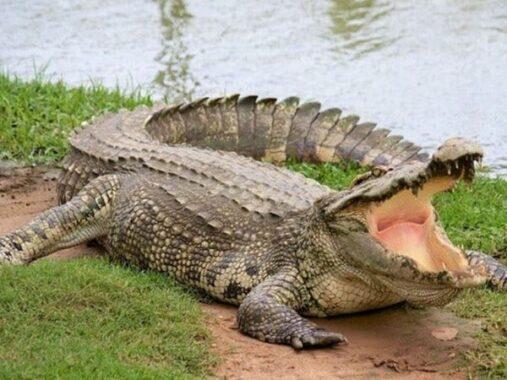 Mơ thấy cá sấu là điềm gì? Đi tìm con số vàng ẩn chứa?