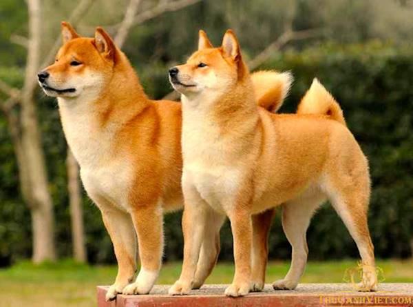 Giải mã giấc mơ thấy chó vàng là điềm báo gì