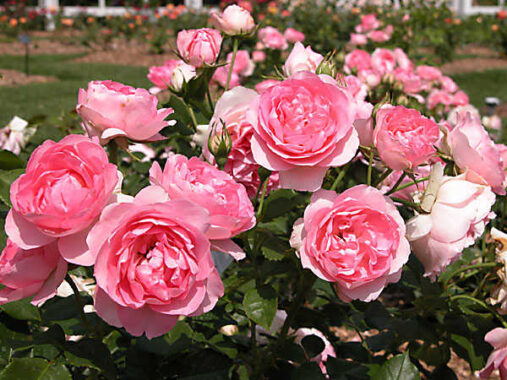Nằm mơ thấy hoa hồng đánh con gì? Mang điềm báo hung hay cát?