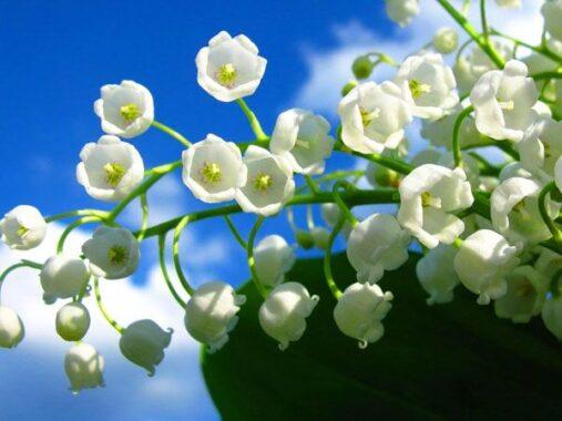 Luận giải ý nghĩa giấc mơ thấy hoa màu trắng điềm tốt hay xấu?